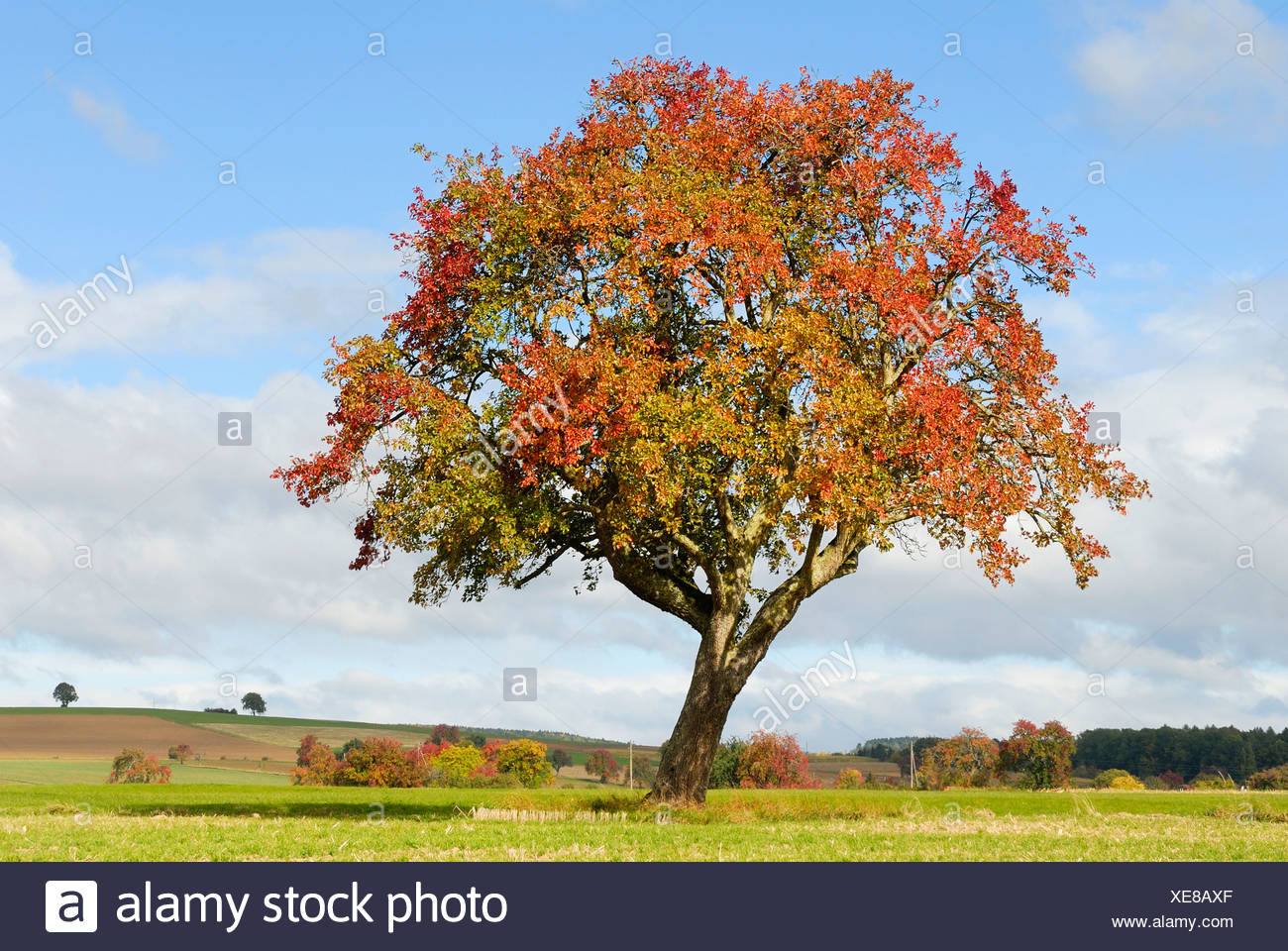 old apple tree in autumn colors stock photo 284155271 alamy
