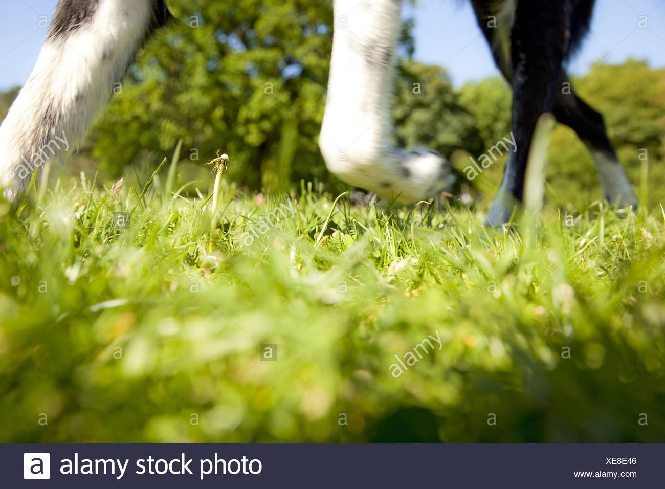 Meadow, dog, detail, feet, from below, - Stock Image