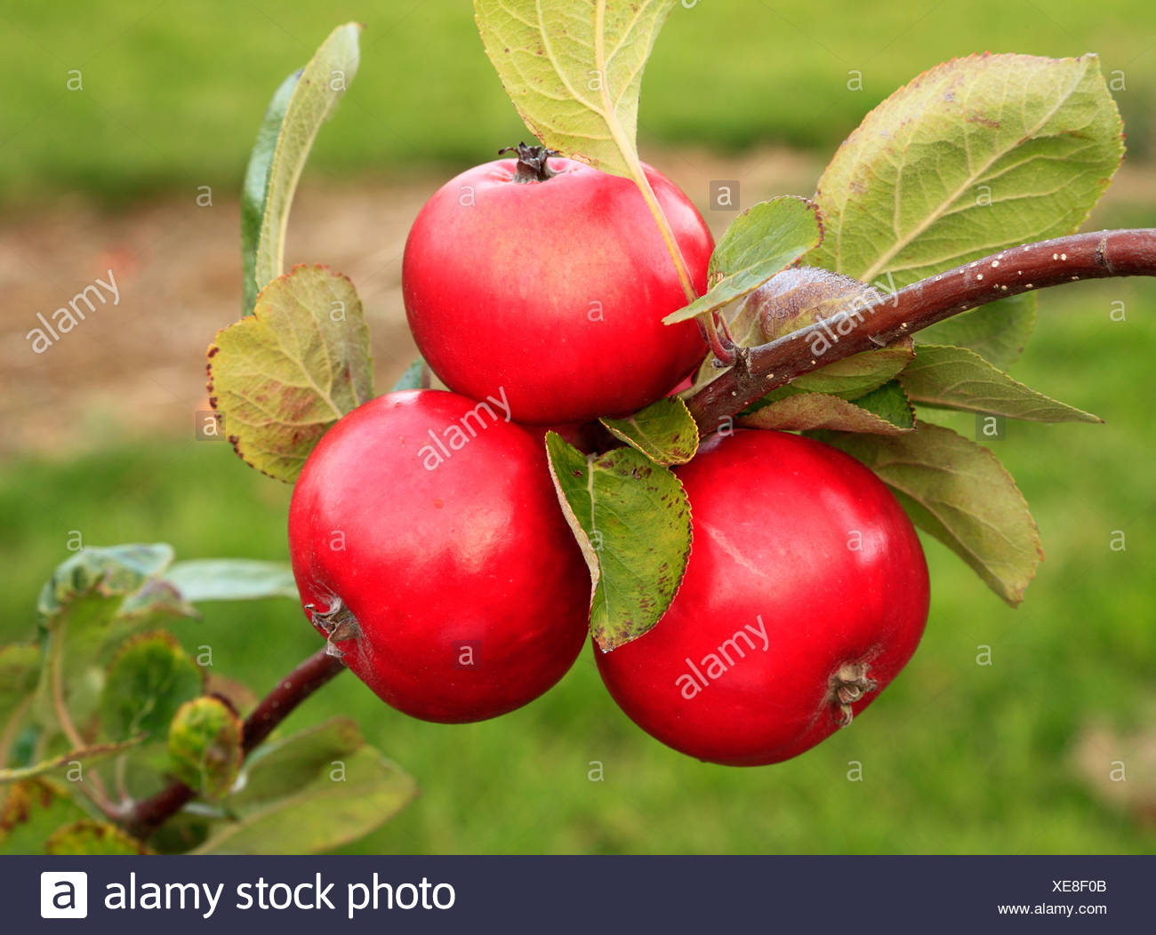 Apple 'Red Miller's Seedling',  variety, malus domestica, apples varieties growing on tree Norfolk England UK - Stock Image