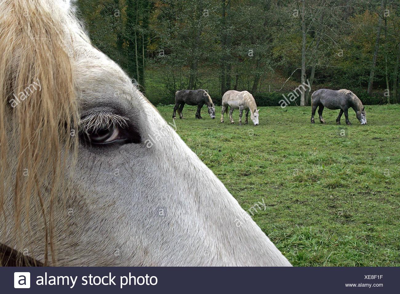 Percheron Draft Horses, a French Breed, Close up of Eye - Stock Image