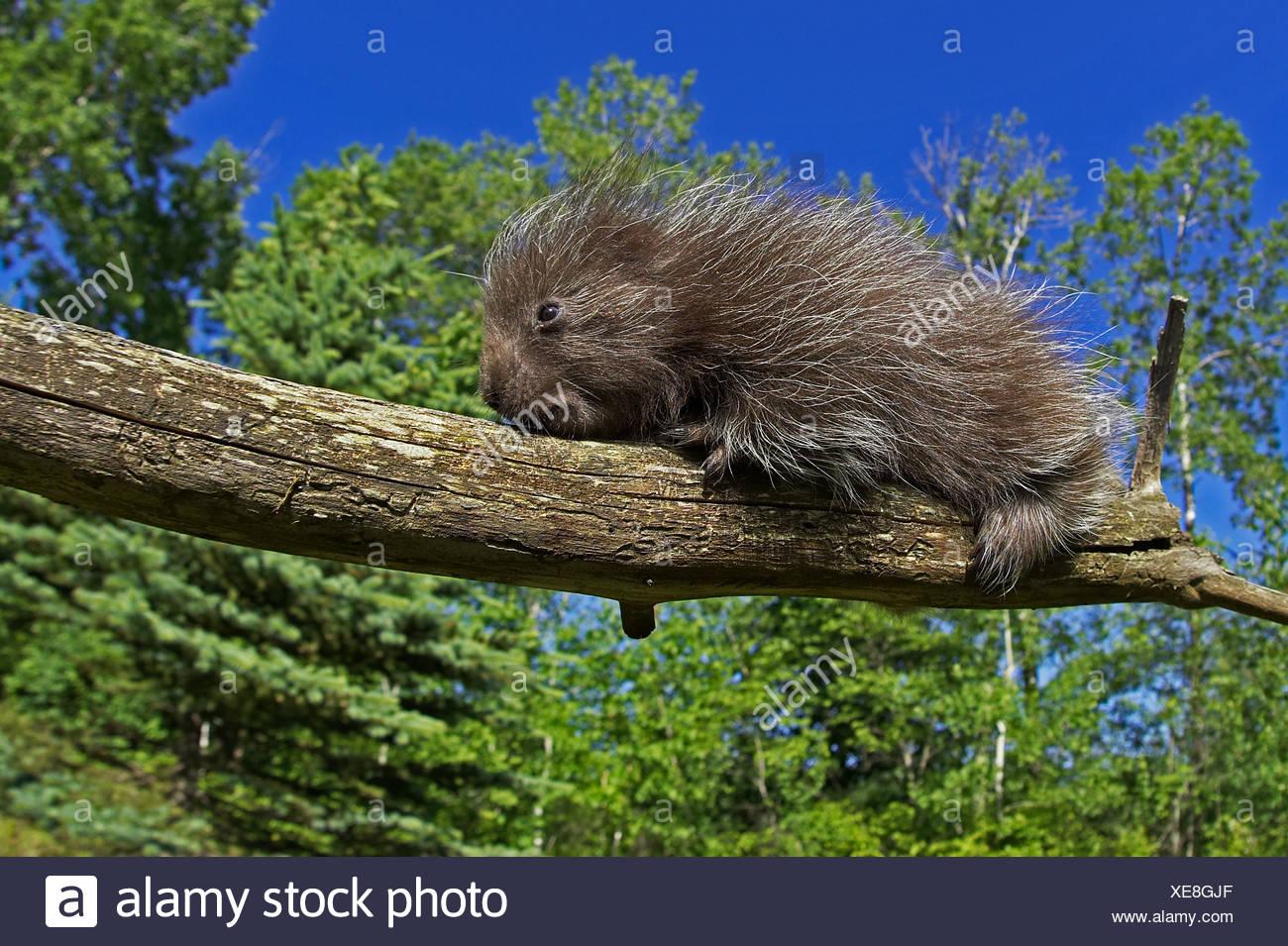 Common Porcupine Erethizon dorsatum Pine County Minnesota USA Stock Photo