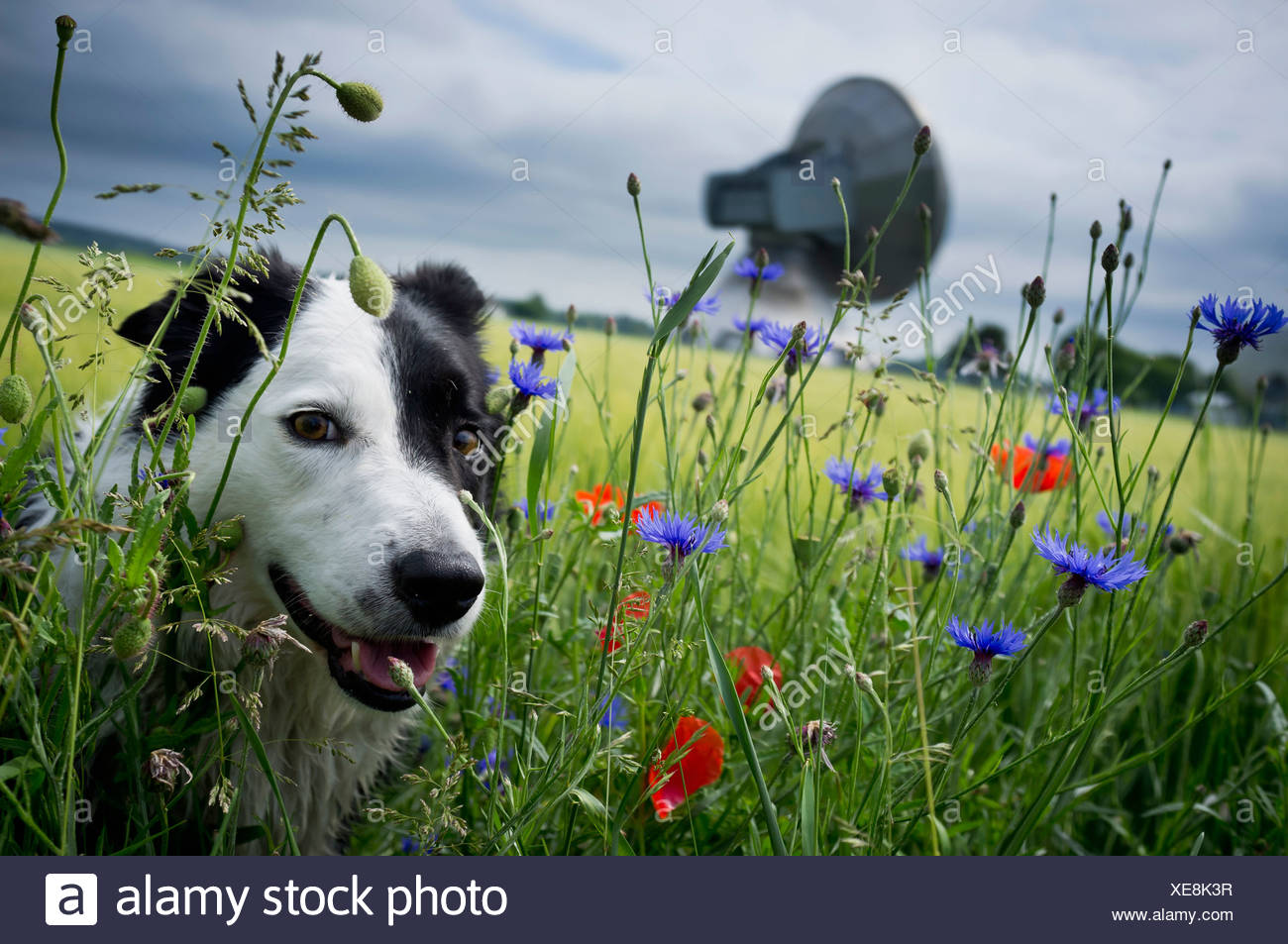 Dog walking in tall grass - Stock Image