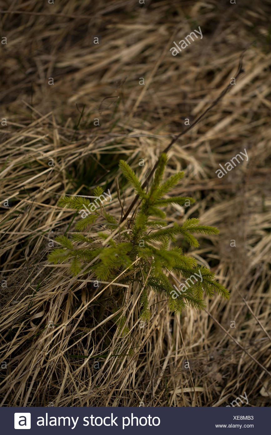 A young conifer pushing through the grass. Rhoen Mountains, Germany Stock Photo