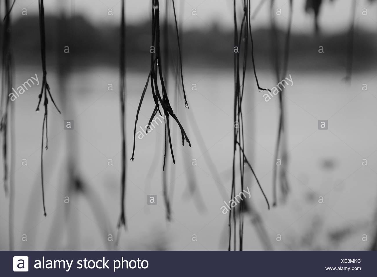 Wet Dead Plants During Rainy Season - Stock Image