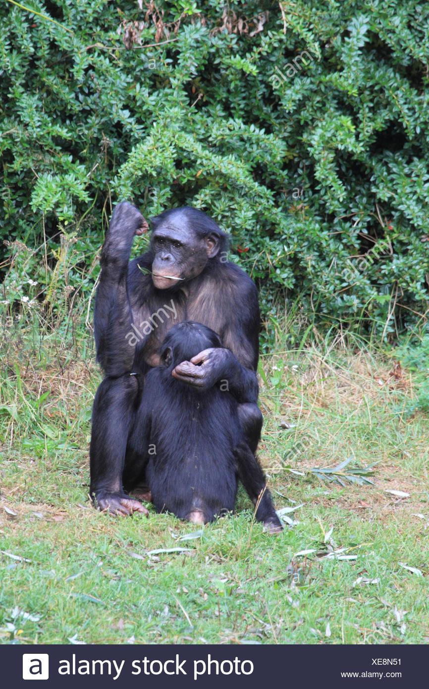Bonobo with young animal, - Stock Image