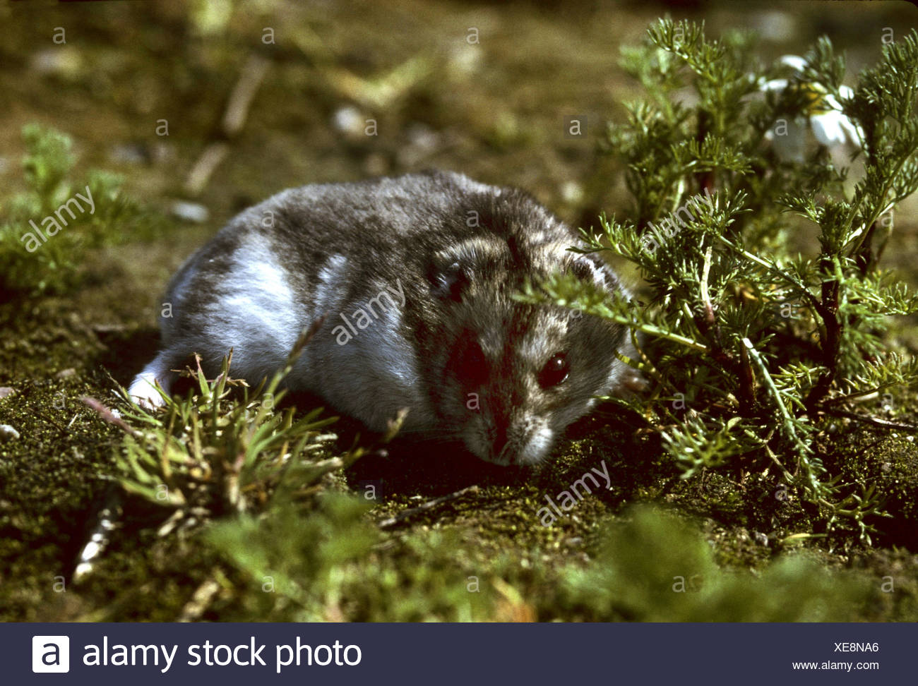 striped hairy-footed hamster, Dzungarian hamster (Phodopus sungorus), full length portrait - Stock Image