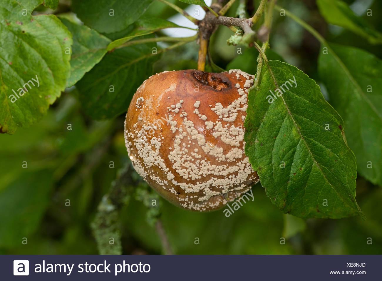Brown rot (Monilia fructigena, Monilinia fructigena), fouling apple, Germany - Stock Image