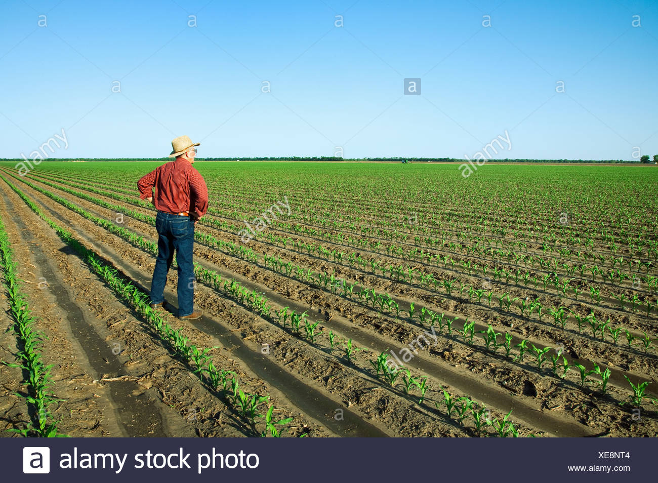 Agriculture - A farmer (grower) examines his field of early growth grain corn plants at the four leaf stage / England, Arkansas. - Stock Image
