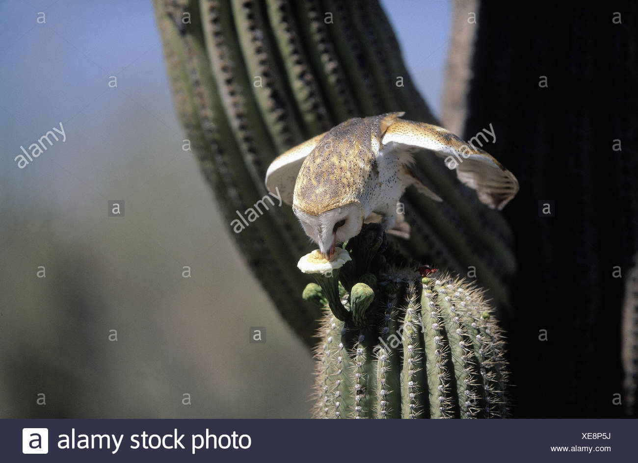 Barn Owl (Tyto alba), sitting on Saguaro cactus and drinking from cactus flower, behavioural adaption on semidesertic - Stock Image