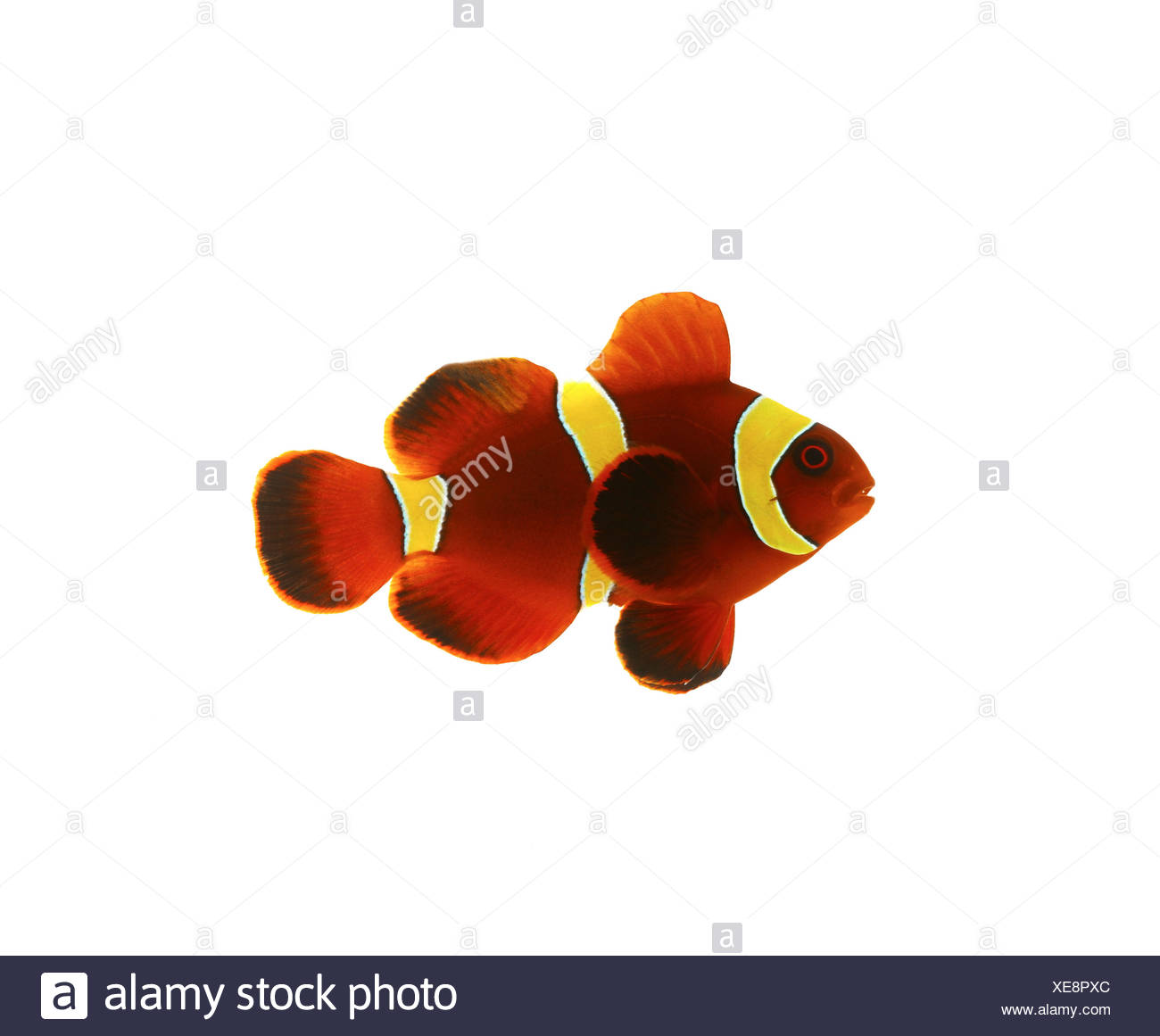 Clown Fish White Background Cut Out Stock Images & Pictures - Alamy