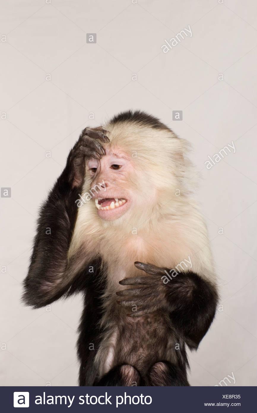 Monkey worrying - Stock Image