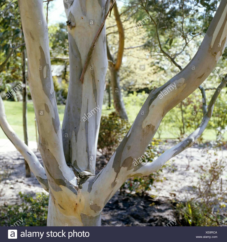 Bark - of Eucalyptus pauciflora subsp. niphophila AGM   BAR002325  /Photoshot - Stock Image