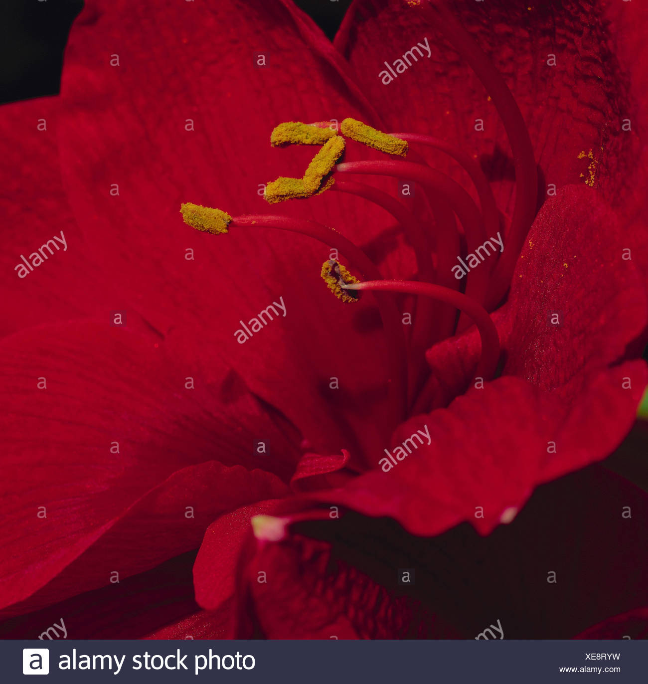 Amaryllis, dust vessels, flower pollen, close up, flower, ornamental flower, ornamental plant, plant, blossom, blossom, red, petals, pollen, polling, Stock Photo