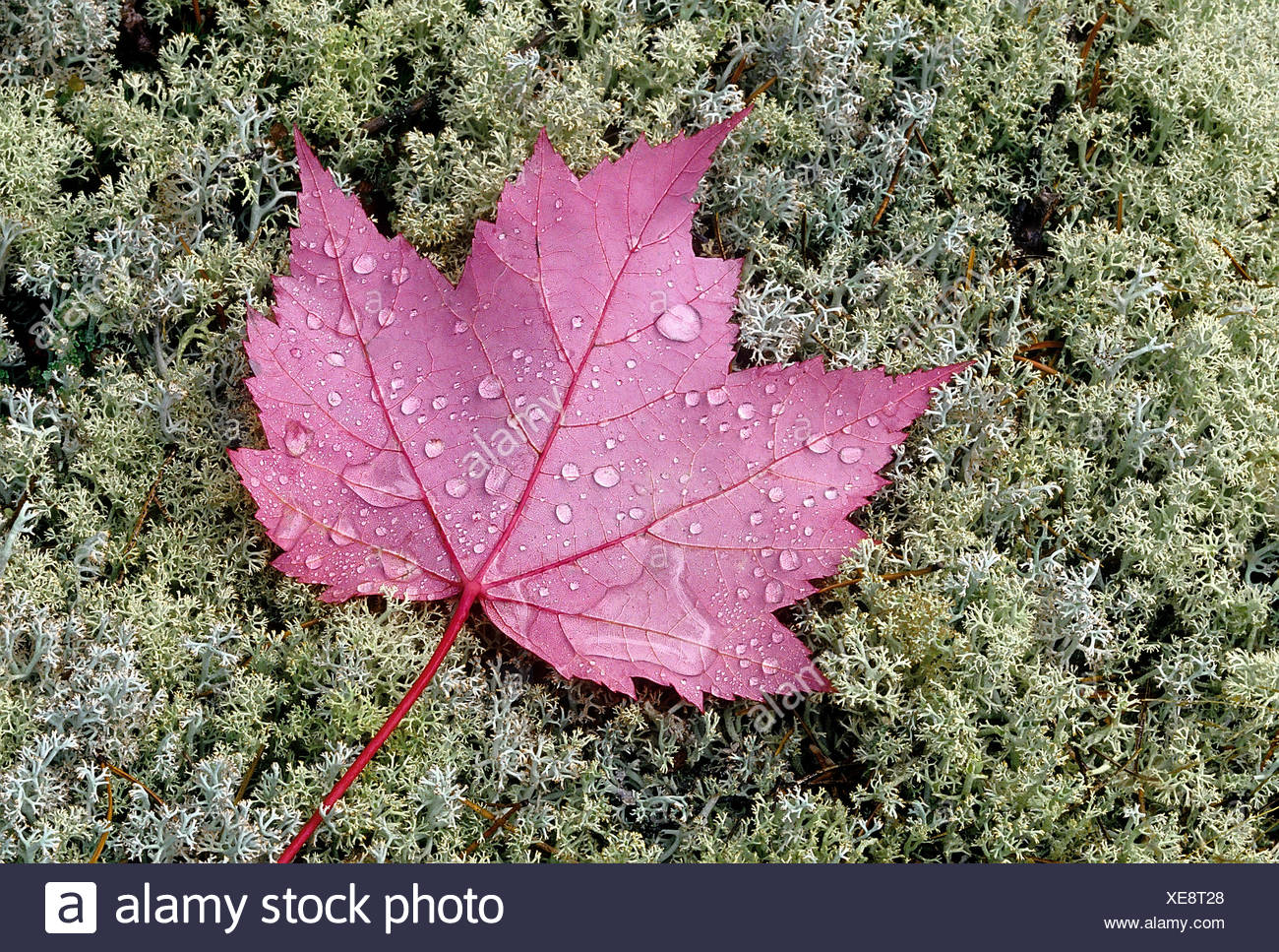 Rain drops on red maple leaves (Acer rubrum) on lichens Near Sioux Narrows Ontario Canada - Stock Image