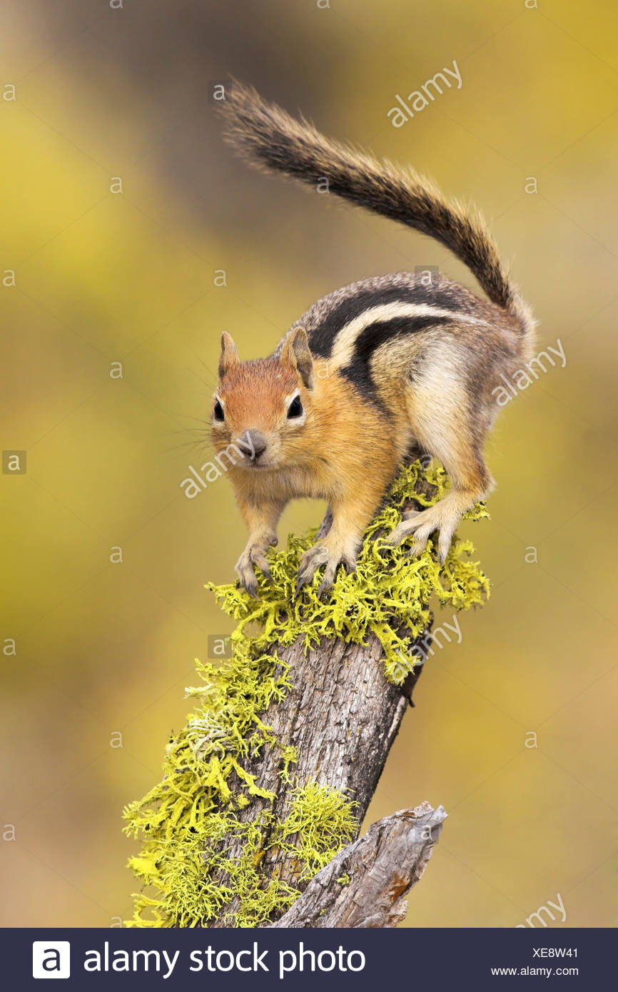 A Golden-mantled Ground Squirrel (Spermophilus lateralis) perched on a lichen covered log in the interior of British Columbia, C - Stock Image