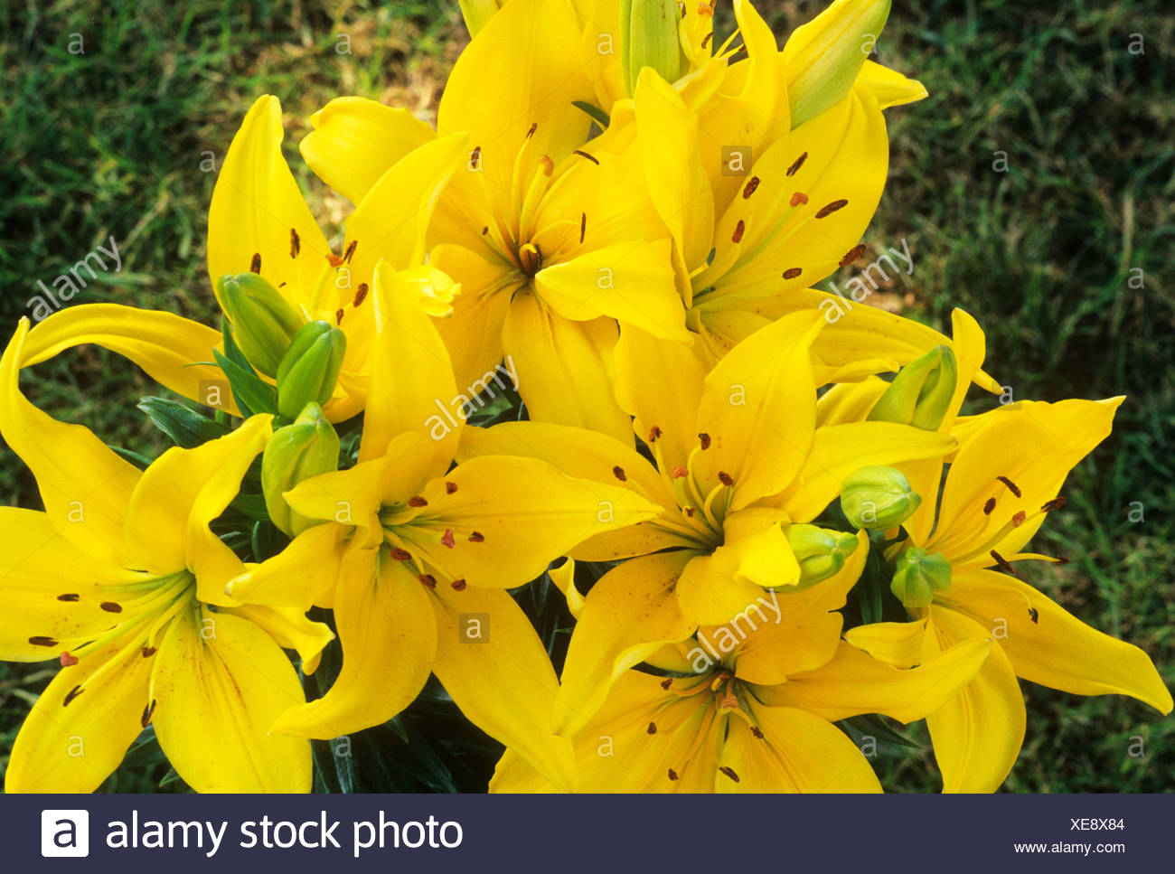 Lilium Lemon Pixie Dwarf Oriental Lily Yellow Flower Garden Plant