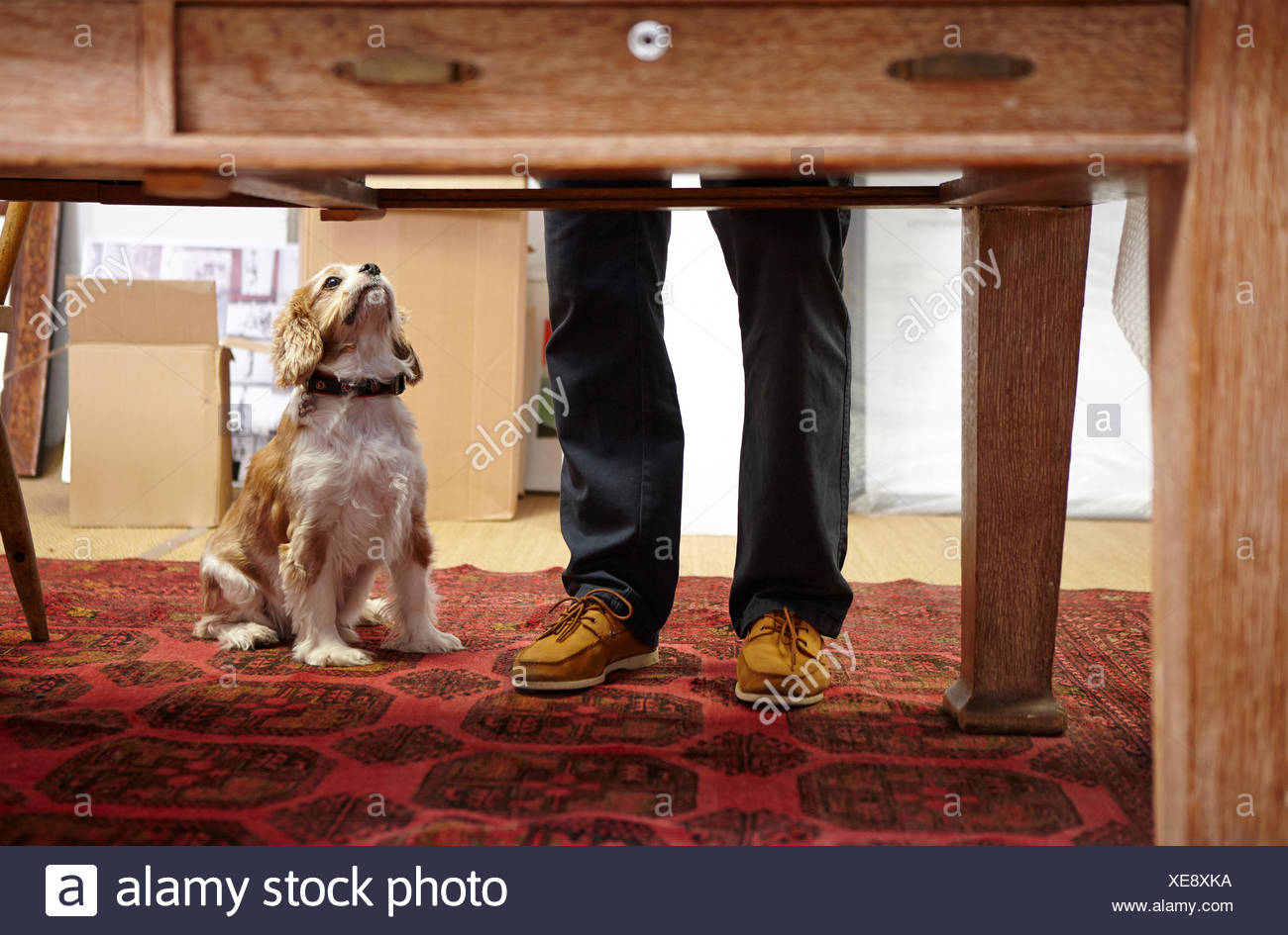 Mans legs and dog looking up in picture framers workshop - Stock Image