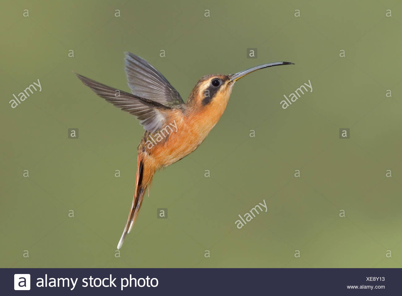 Gray-chinned Hermit (Phaethornis griseogularis) feeding at a flower while flying at the Wildsumaco reserve in eastern Ecuador. - Stock Image