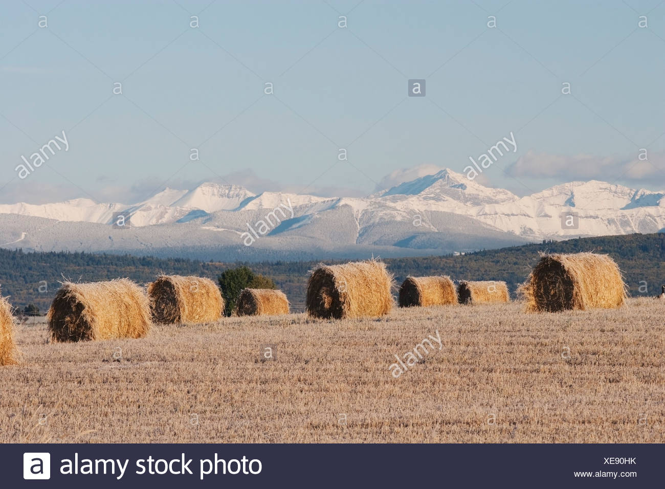 Frosted Hay Bales In Cut Field, Alberta, Canada - Stock Image