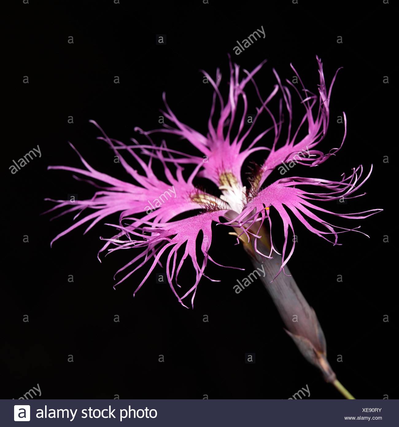 Dianthus superbus - Stock Image