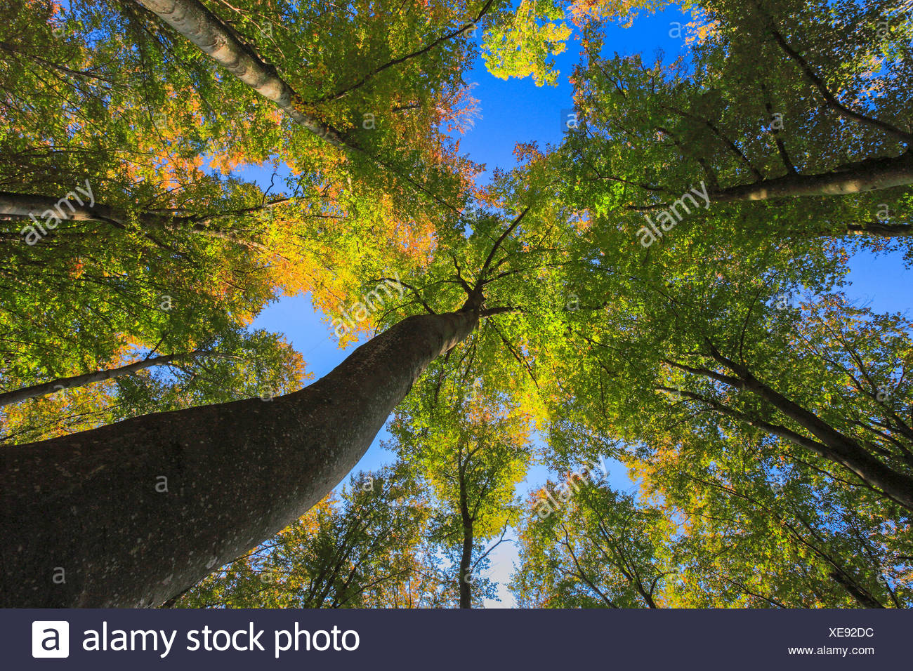 common beech (Fagus sylvatica), view from below in the crowns of a beech wood in autumn, Switzerland - Stock Image