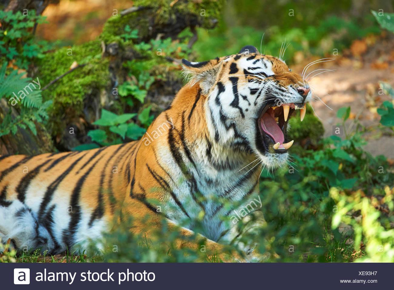 Siberian tiger, Amurian tiger (Panthera tigris altaica), roaring - Stock Image