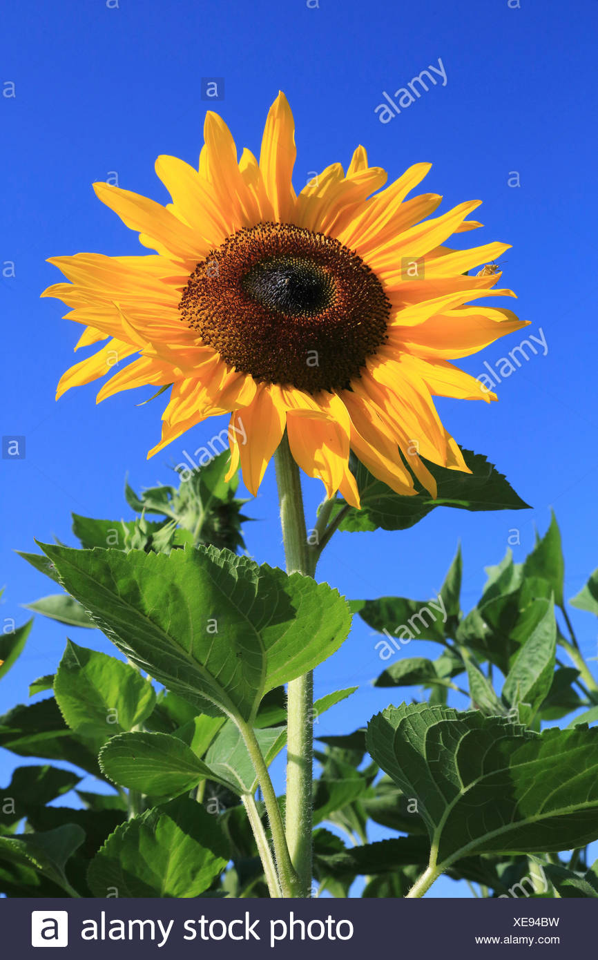 common sunflower (Helianthus annuus), single flower in front of blue sky, Germany - Stock Image