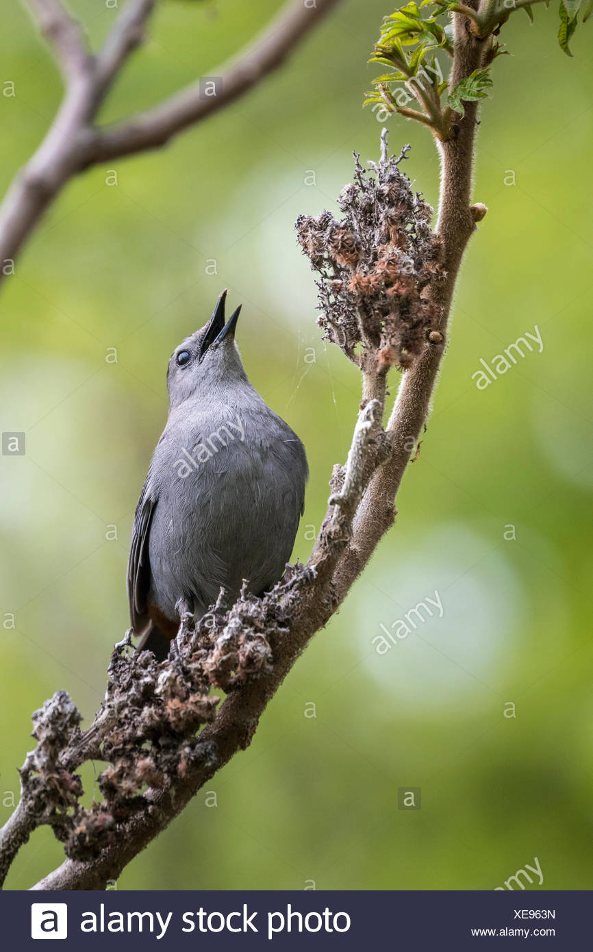 Gray Catbird (Dumetella carolinensis) on Staghorn Sumac,  Doris McCarthy Trail (Gates Gully), Scarborough Bluffs, Toronto, Ontario, Canada - Stock Image
