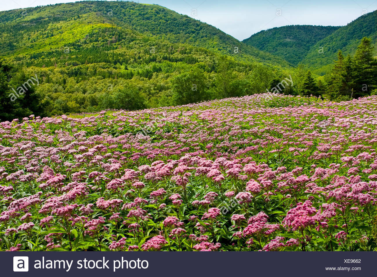 Field of Spotted Joe-pye Weed, (Eupatorium maculatum) at Cap Rouge in Highlands National Park, Cape Breton, Nova Scotia, Canada. - Stock Image