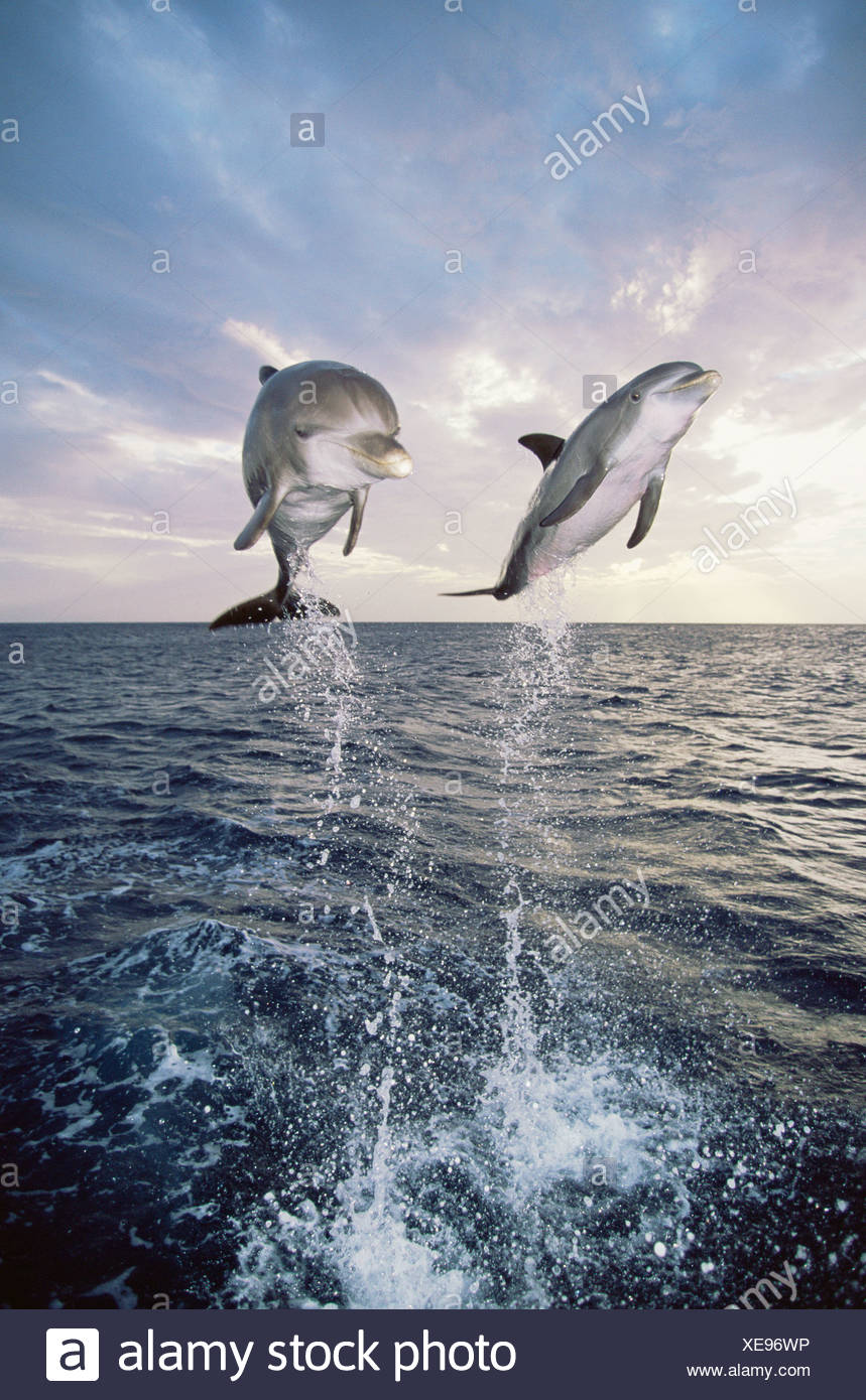 Dolphins jumping out of the sea - Stock Image