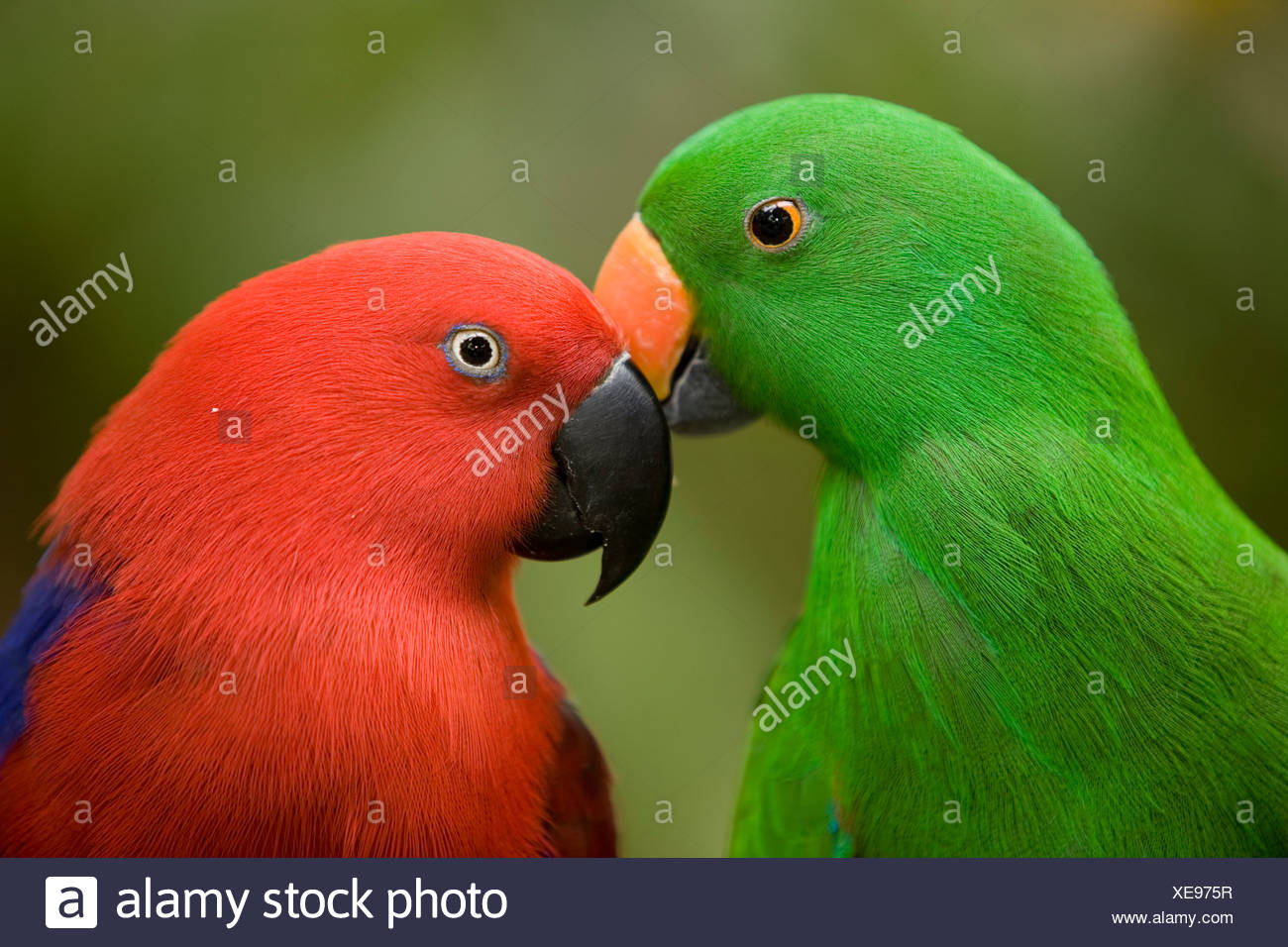 Closeup of male and female Eclectus parrots, respectively. - Stock Image