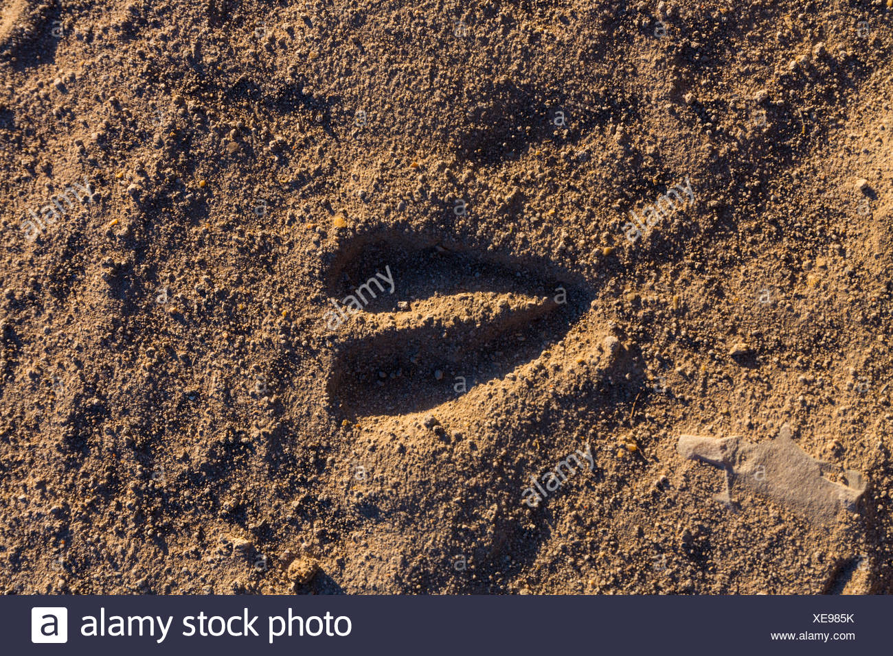 Antelope Trace - Kalahari Botswana - Stock Image