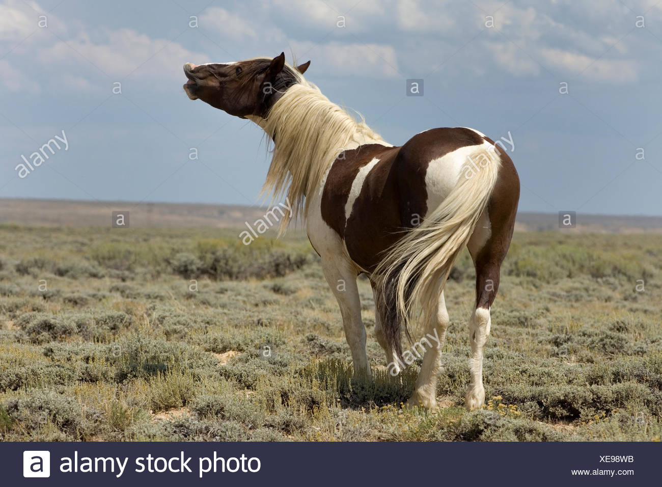 Mustang (Equus ferus caballus), stallion, piebald flehming in the prairie, Wyoming, USA Stock Photo