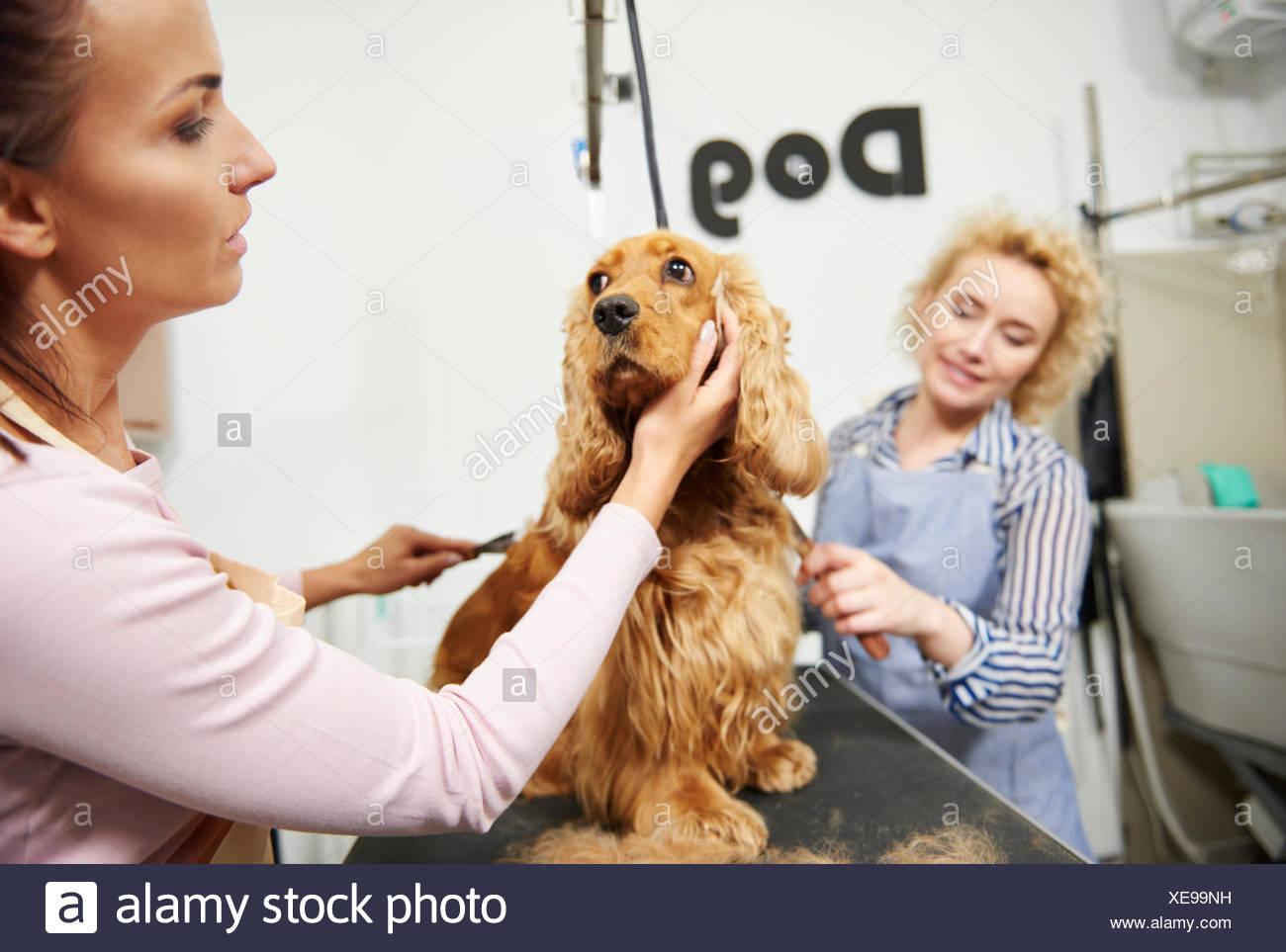 Female groomers brushing cocker spaniel at dog grooming salon - Stock Image