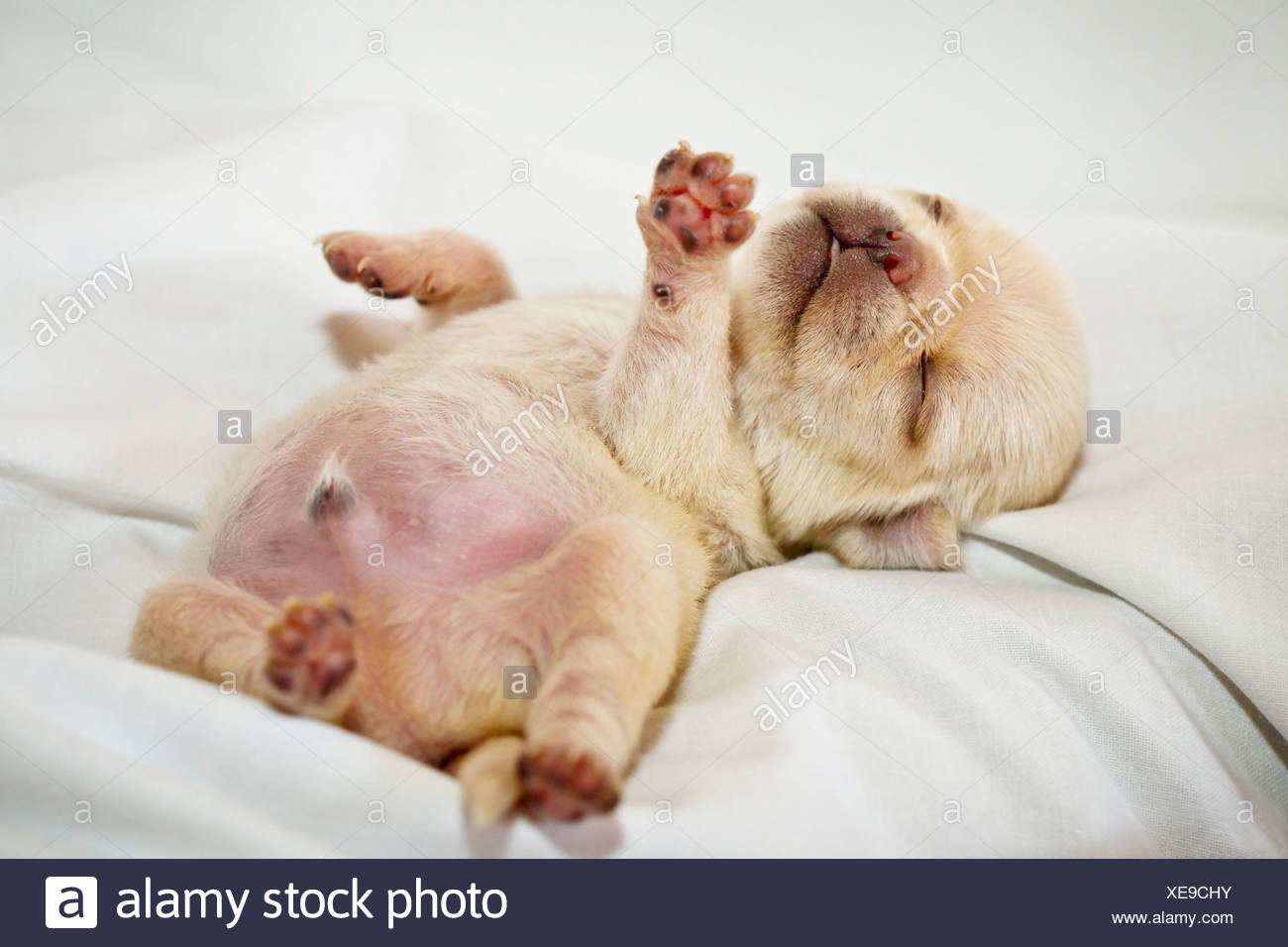 Cream-colored pug puppy lying on sheet - Stock Image