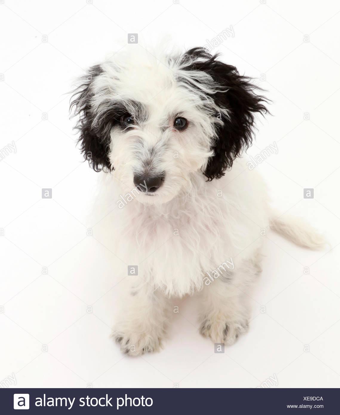 Black-and-white Cockapoo puppy. - Stock Image