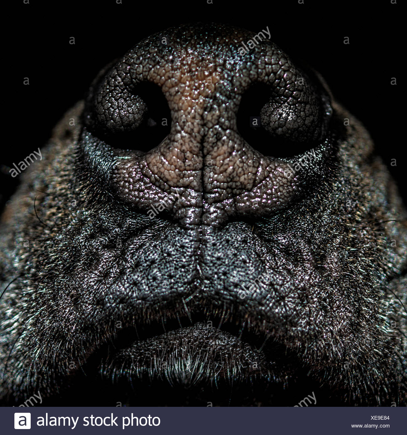 Close up of dog's nose - Stock Image