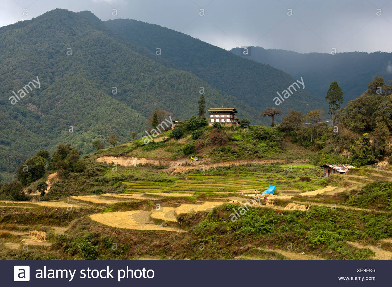 Farm in a landscape with terraced fields of rice, Bhutan, South Asia, Asia - Stock Image