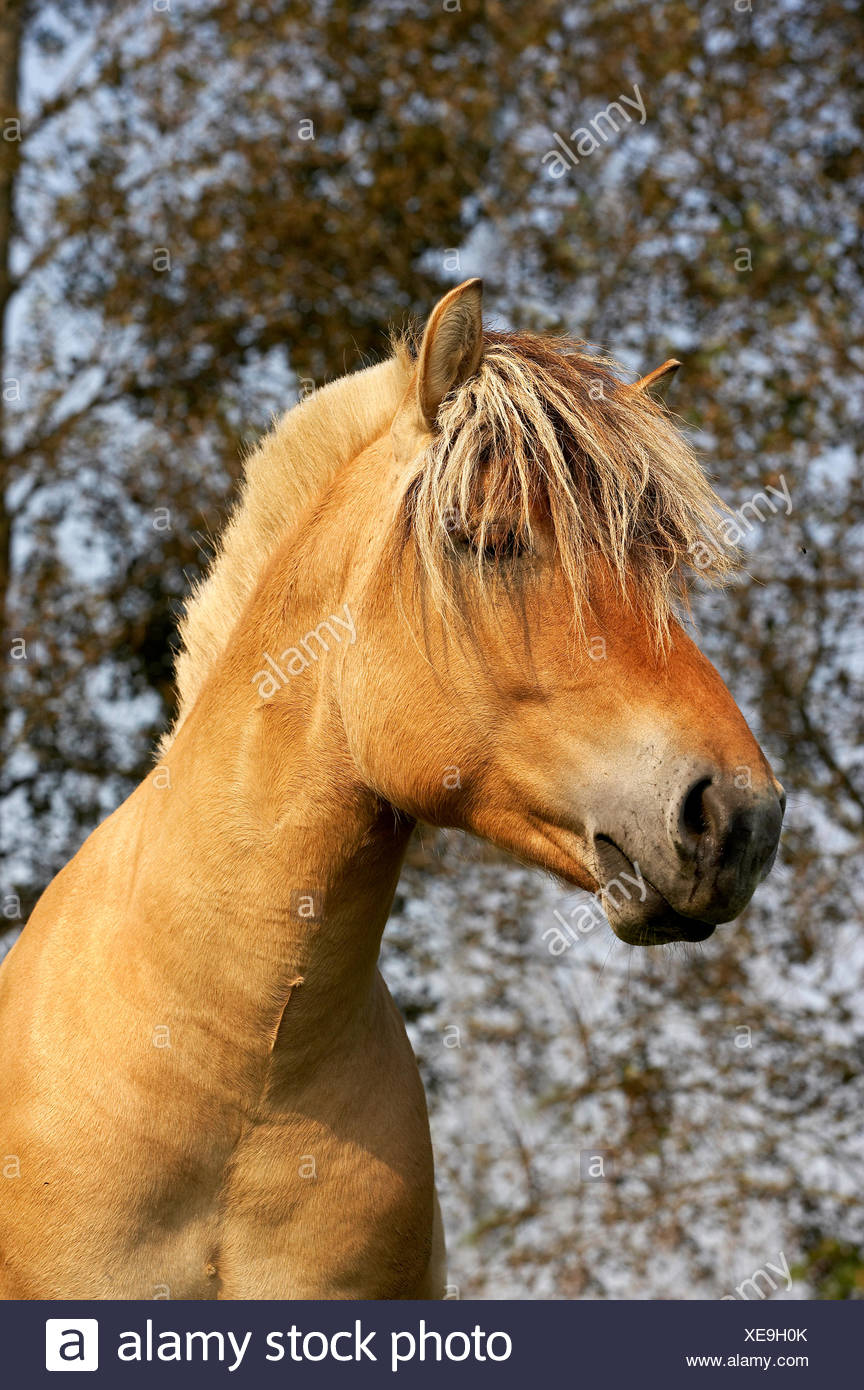Norwegian Fjord Horse Portrait Of Stallion Stock Photo Alamy