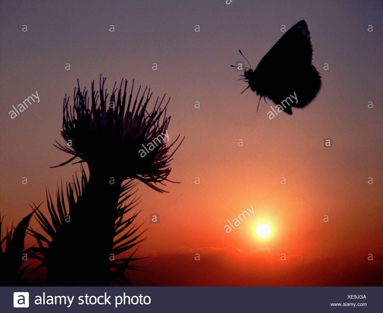 Butterlfy at sunset - Stock Image