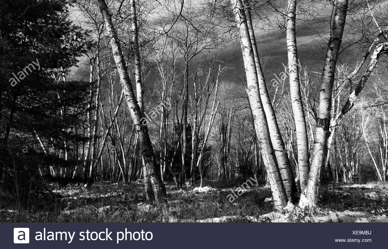 Forest In Winter - Stock Image