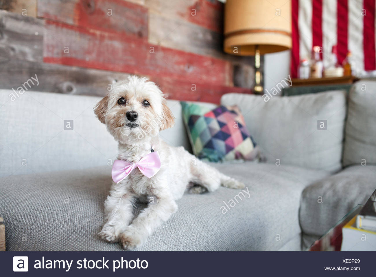 Portrait of cute dog lying on living room sofa - Stock Image