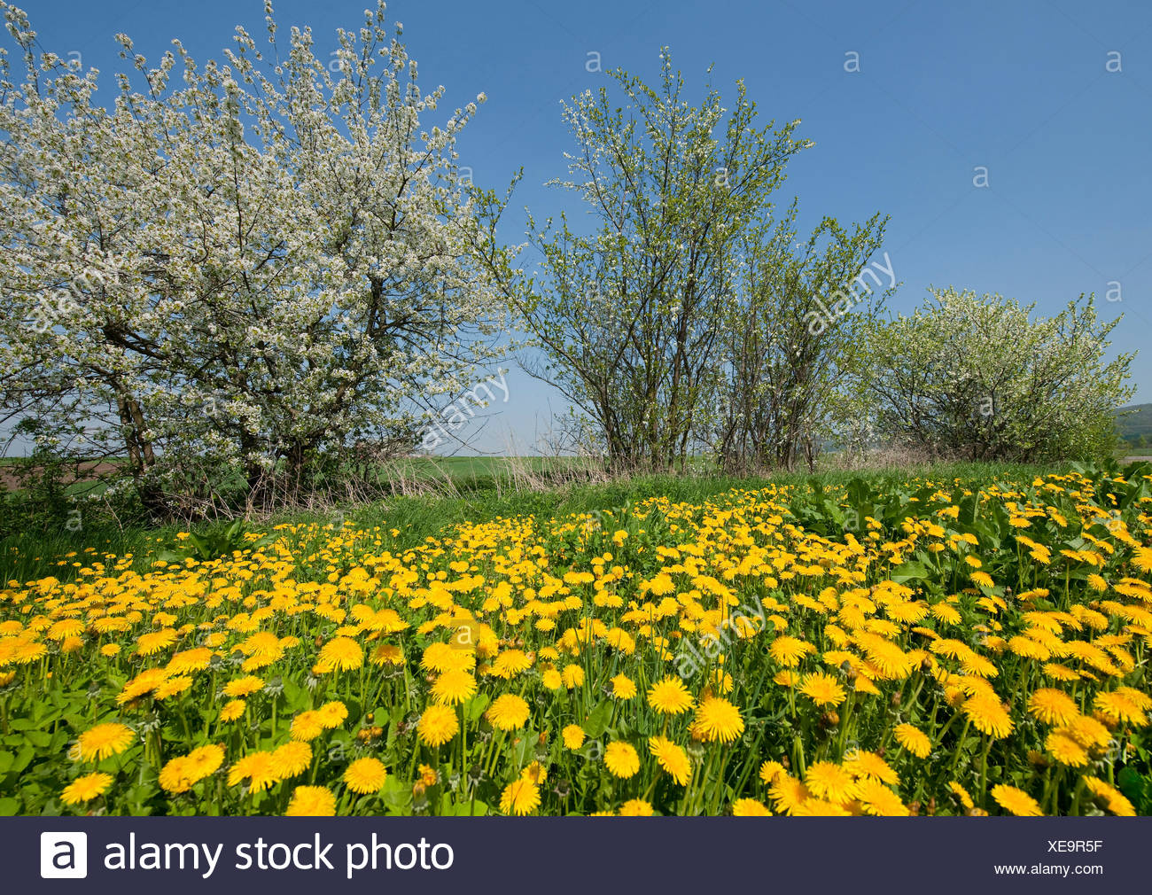 Blooming Dandelions (Taraxacum sect. Ruderalia) and flowering Blackthorn (Prunus spinosa), Thuringia, Germany - Stock Image