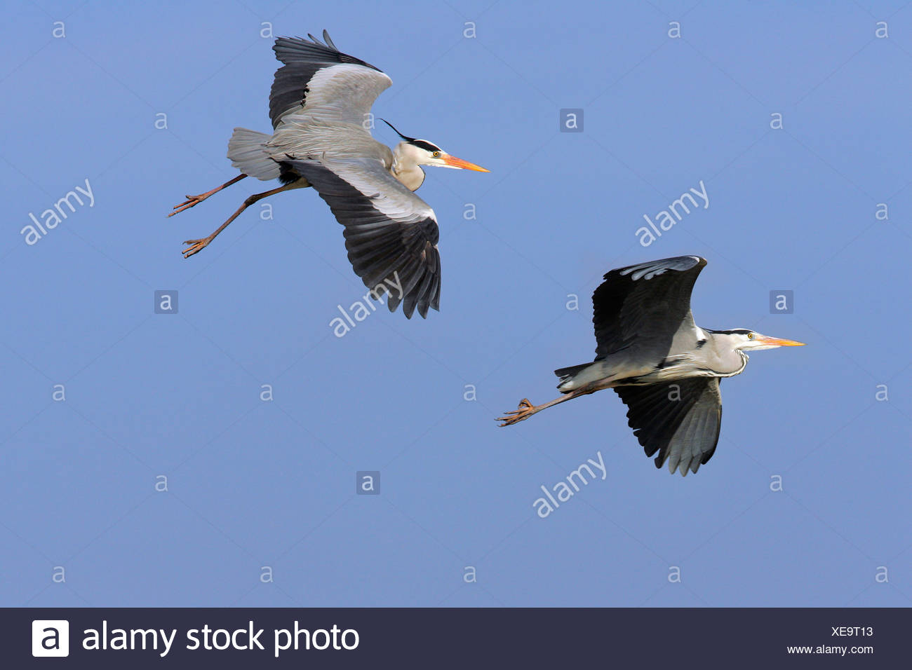 Couple of flying grey herons - gray herons - european common herons (Ardea cinerea) Stock Photo