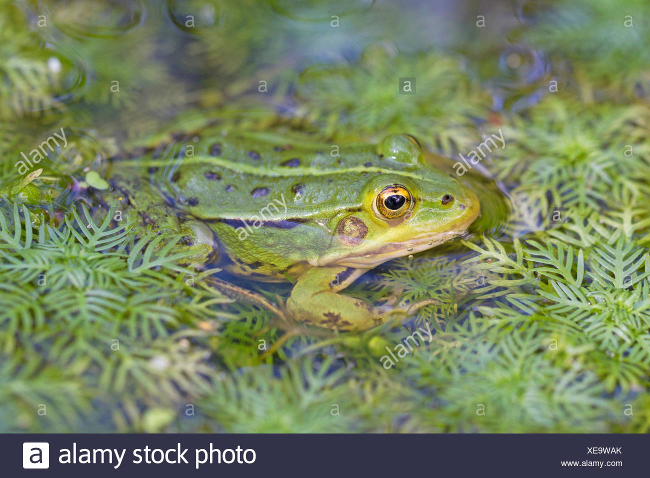 Pool frog in the water - Stock Image