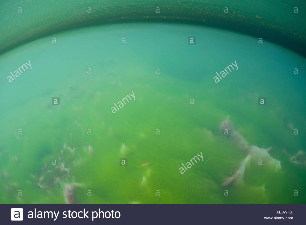 Algaes in Marine Lake, Raja Ampat, West Papua, Indonesia - Stock Image