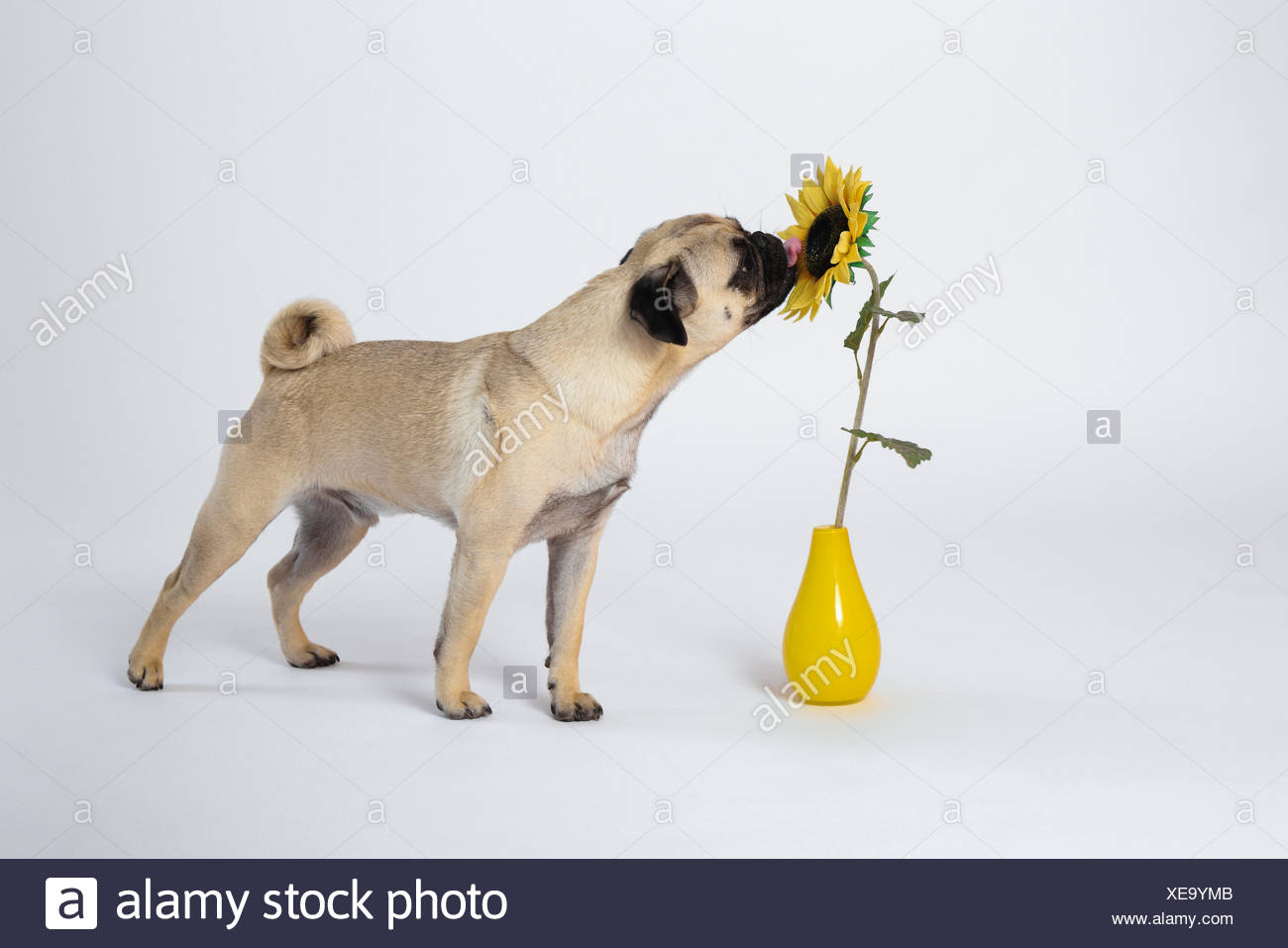 Flower, isolated, domestic animal, pet, domestic animals, pets, dog