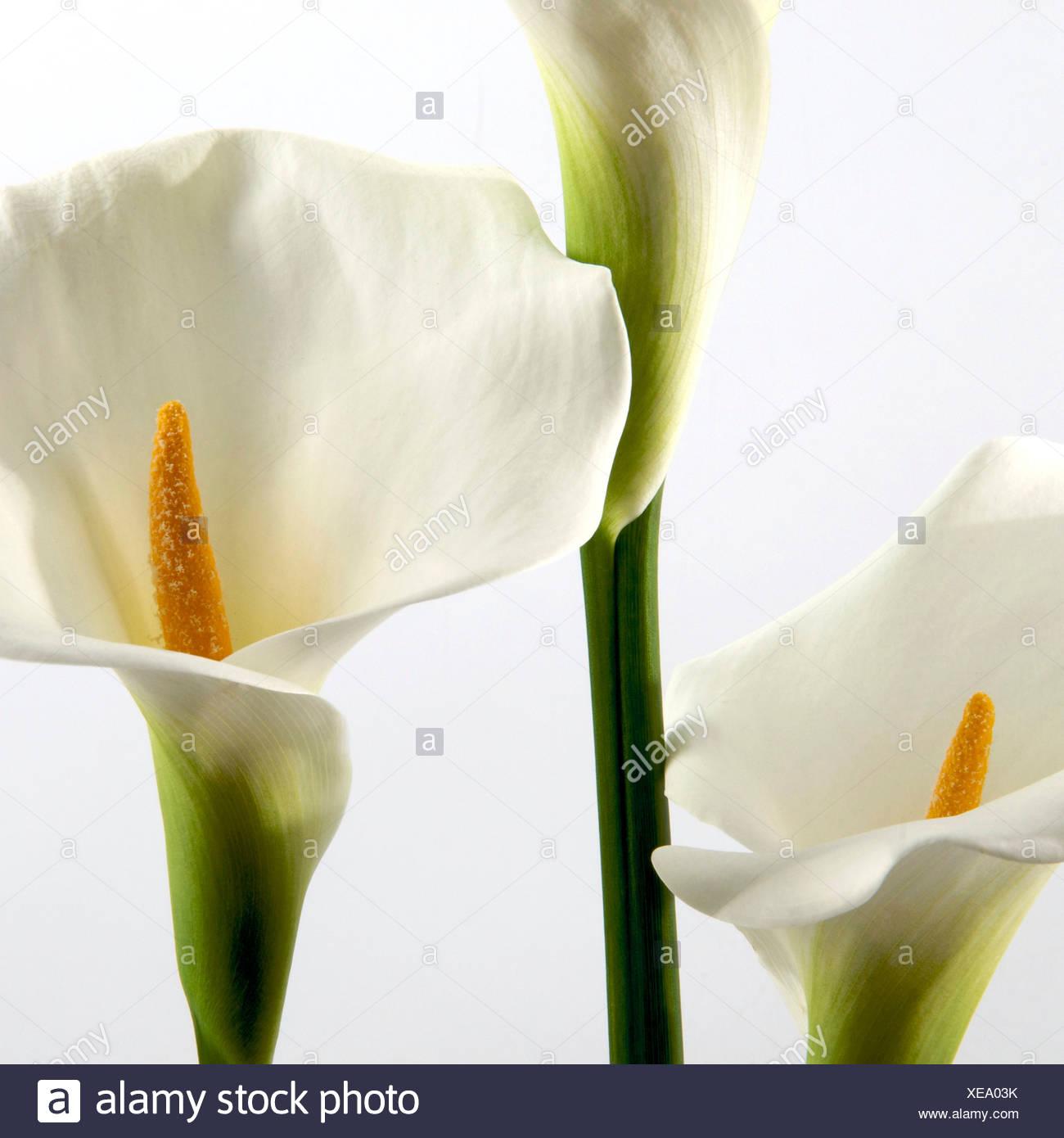 White Arums - Stock Image