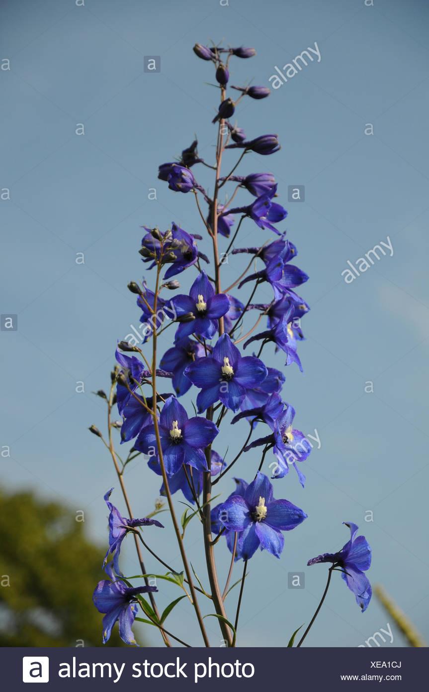 Delphinium Elatum Hybride Blauwal, Larkspur - Stock Image