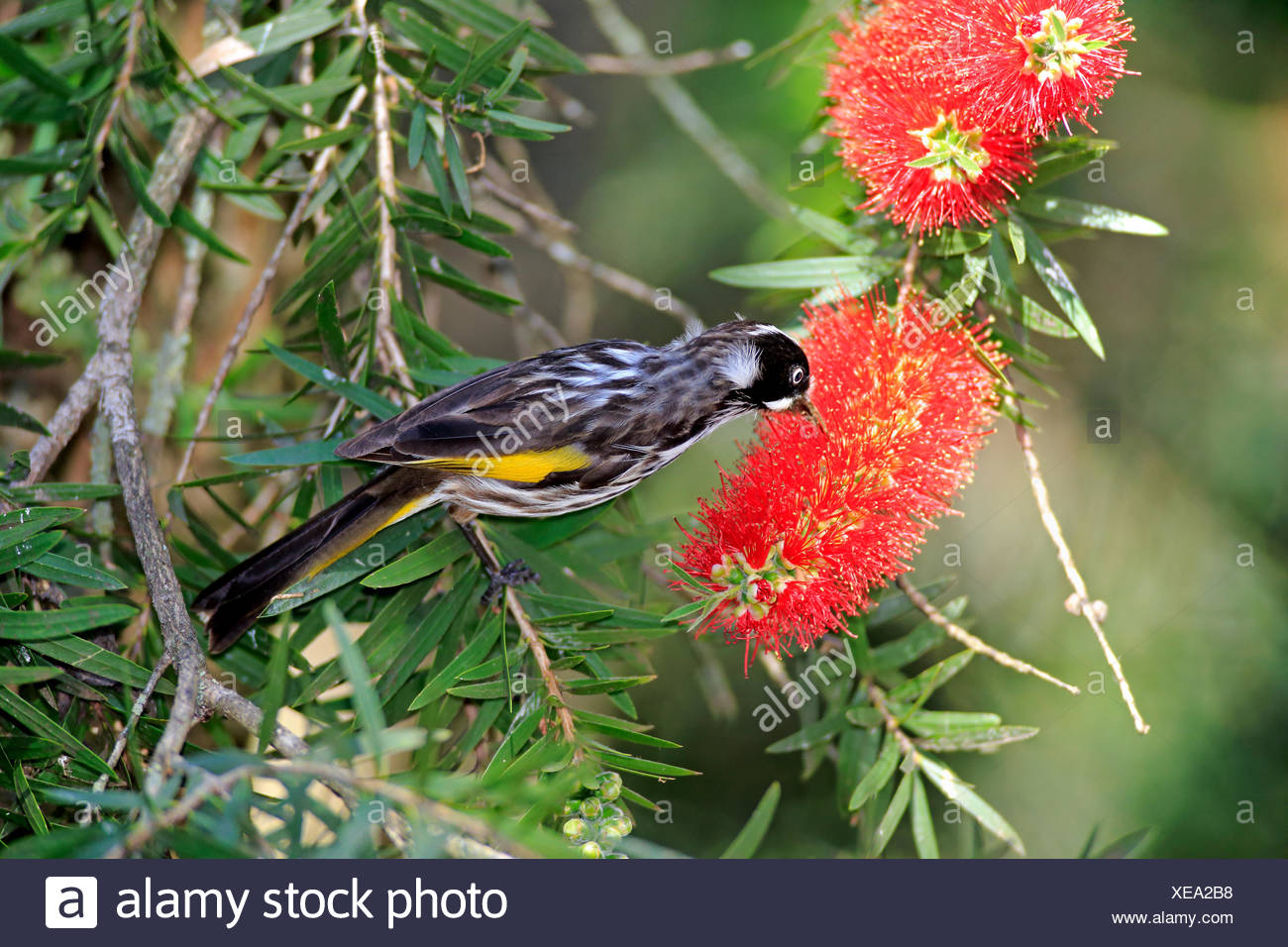 New Holland Honeyeater, South Australia, Australia / (Phylidonyris novaehollandiae) - Stock Image